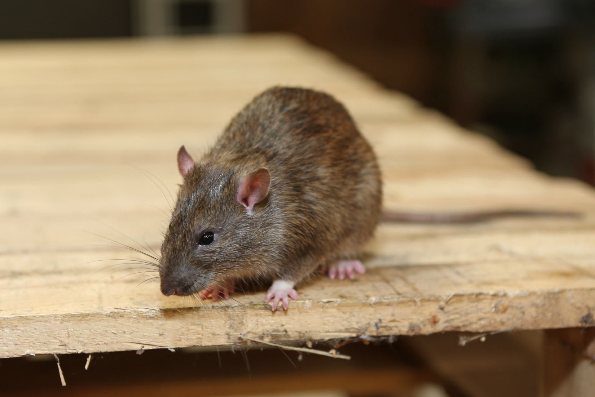 Rat Infestation, Pest Control in East Sheen, SW14. Call Now 020 8166 9746
