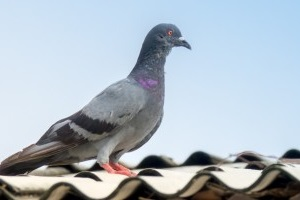 Pigeon Pest, Pest Control in East Sheen, SW14. Call Now 020 8166 9746